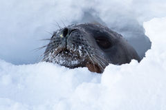 Weddell seal head that looks out of holes in the ice of the Anta. Rctic Strait Royalty Free Stock Image