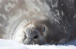 Weddell seal on an iceberg in Antarctic Peninsula stock photo