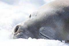 Weddell seal on an iceberg in Antarctic Peninsula stock photography