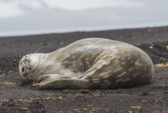 Weddell Seal laying on the beach. In Antarctica Stock Photo