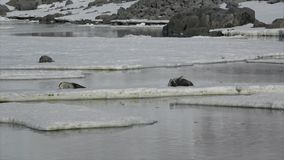 Weddell Seal laying on the ice stock video