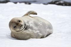 Weddell seal Leptonychotes weddellii, Antarctic Peninsula stock image