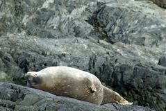 Weddell seal lying on rocks in Antarctica Stock Image
