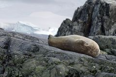 Weddell seal lying on rocks in Antarctica Stock Photo