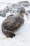 Weddell seal lying in the snow near the rocks. In Antarctica Royalty Free Stock Images