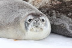 Weddell seal pup in Antarctica Stock Photography