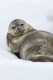 Weddell seal pup lying in the snow on his back and looking Stock Photography
