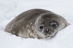 Weddell seal pup lying in the snow of winter. In Antarctica Royalty Free Stock Photography