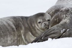 Weddell seal pup who leaned his head on the Stock Images