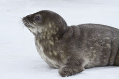 Weddell seal pup who raised his head and looks. Forward Royalty Free Stock Images
