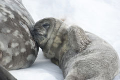 Weddell seal pups resting after a meal. Weddell seal pups resting after a meal on the mother's abdomen Royalty Free Stock Image