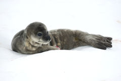 Weddell seal pups in the snow. Weddell seal pups on a bright winter snow Royalty Free Stock Image