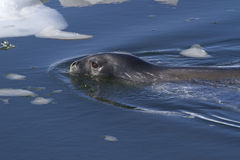 Weddell seal sailing among ice floes. Along the Antarctic Islands Stock Photography