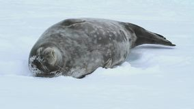Weddell seal sleeping on ice of strait between the small islands in the Antarctic stock footage
