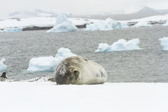 Weddell seal sleeping Ronge Island, Antarctica Royalty Free Stock Photography
