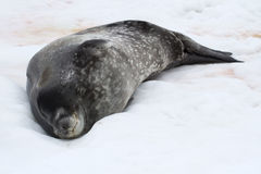 Weddell seal that sleeps lying on the ice of the Antarctic Islan. Ds Royalty Free Stock Image