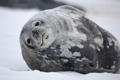 Weddell seal in snowy weather, Antarctica. Weddell seal resting on snow, Antarctic Peninsula, Antarctica Stock Photo