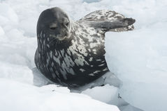 Weddell seal which lies among the ice floes winter Royalty Free Stock Photo