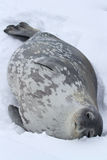 Weddell seal which lies in the snow on a summer Stock Images