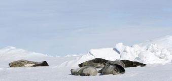 Weddell seals (Leptonychotes weddellii). Weddell seals (Leptonychotes weddelli) resting on the sea ice in the Weddell Sea, Antarctica Royalty Free Stock Photography