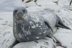 Weddell seals on the rocks of the islands. Royalty Free Stock Photography