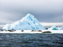 Weddell Seals sunbathing. Two Weddell Seals & x28;Leptonychotes weddellii& x29; sunbathing on ice Stock Image