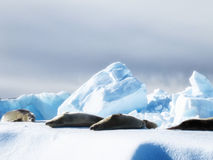 Weddell Seals sunbathing Royalty Free Stock Images