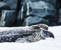 Weddell skyddsremsa Arkivfoton