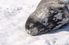 Weddell skyddsremsa (den Leptonychotes weddelliien) som sover på isbergen Arkivbild