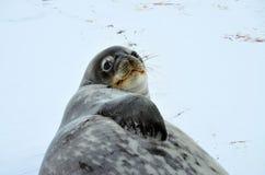 Weddell skyddsremsa i Atartica Royaltyfria Foton