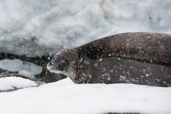 Weddell skyddsremsa på stranden Arkivfoton