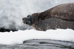 Weddell skyddsremsa på stranden Arkivfoto