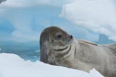Weddell skyddsremsa som lägger på isen Arkivbilder