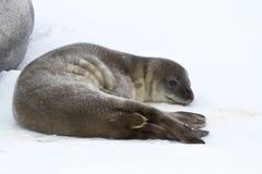 Weddell skyddsremsavalp som vilar på is i Antarktis Royaltyfria Bilder