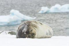 Weddellrobbe auf Ronge-Insel, die Antarktis Lizenzfreie Stockfotos