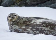 Weddellrobbe die Antarktis Lizenzfreie Stockfotos