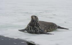 Weddellrobbe, die auf das Eis legt Lizenzfreie Stockbilder