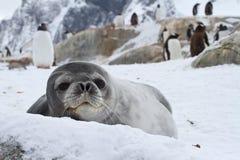Weddellrobbe, die heraus über dem schneebedeckten schaut Stockfoto