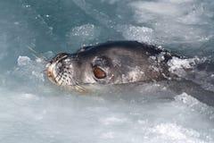 Weddellrobbekopf, der aus dem Wasser- und Eiswinter DA heraus knallte Stockfotos