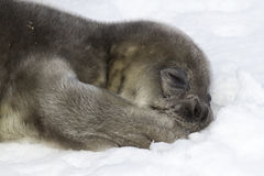 Weddellrobberobbenbaby, das auf Schnee liegt und seine Tatze hält Stockfoto