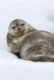 Weddellrobberobbenbaby, das im Schnee auf seinem Rückseite und Schauen liegt Stockfotografie