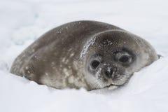 Weddellrobberobbenbaby, das im Schnee des Winters liegt Lizenzfreie Stockfotografie