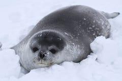 Weddellrobberobbenbaby im Schnee Lizenzfreie Stockfotografie