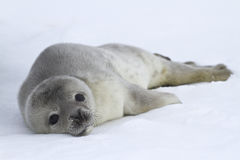 Weddellrobberoobbenbabies, das auf dem Eis liegt Lizenzfreie Stockbilder