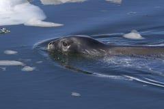 Weddellrobbesegeln unter Eisschollen Stockfotografie