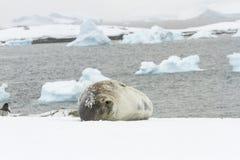 Weddell封印睡觉Ronge海岛,南极洲 免版税图库摄影