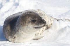 Weddellzeehondejong dat zijn hoofd in sneeuw draait Royalty-vrije Stock Foto's