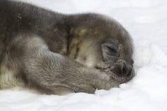 Weddellzeehondejong die op sneeuw liggen en zijn poot houden Stock Foto