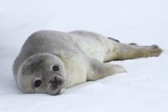 Weddellzeehondejongen wat op het ijs ligt Royalty-vrije Stock Afbeeldingen