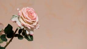 wedding Валентайн роз лепестка предпосылки розовый Стоковые Изображения